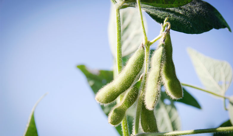 Soy-beans-large